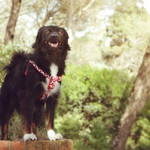 peitoral para cão dog harness