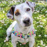 Peitoral No pull | No pull Dog Harness | Arnês Anti-puxão